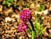 Flor rosada hermosa en la bola en d?a soleado imagen de archivo