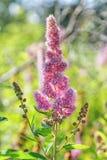 Flor rosada hermosa en un fondo borroso verano Fotografía de archivo