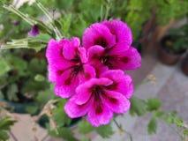 Flor rosada hermosa tres foto de archivo libre de regalías