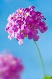 Flor rosada - Lantana Montevidensis foto de archivo libre de regalías