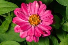 Flor rosada larga con el centro amarillo Fotos de archivo