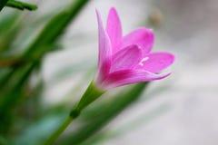 Flor rosada, lilly en selva tropical Imagen de archivo libre de regalías
