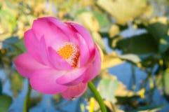 Flor rosada, loto, agua, lirio de agua, valle de lotos, estuario foto de archivo libre de regalías