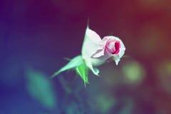 Flor rosada mágica soñadora de hadas hermosa de la rosa del carmesí fotos de archivo
