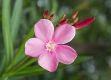 Flor rosada o flor del adelfa en el jardín Fotos de archivo