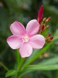 Flor rosada o flor del adelfa en el jardín Imagenes de archivo