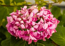 Flor rosada ornamental de la hortensia de Splendurous Foto de archivo libre de regalías