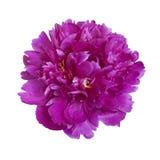 Flor rosada oscura de la peonía Imagen de archivo