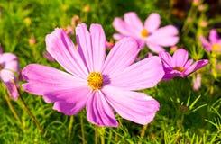 Flor rosada púrpura con los pétalos grandes en el verano naturaleza, flora Fotografía de archivo libre de regalías