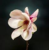 Flor rosada, púrpura de la rama de la magnolia, cierre para arriba, fondo de la pendiente foto de archivo libre de regalías