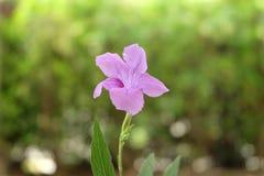 Flor rosada púrpura en fondo del verde del bokeh de la falta de definición Fotos de archivo libres de regalías