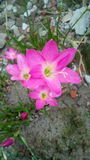 Flor rosada preciosa imágenes de archivo libres de regalías