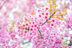 Flor rosada Sakura de Tailandia Fotos de archivo libres de regalías