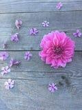 Flor rosada suave de la dalia en un viejo fondo de madera gris Imagen de archivo libre de regalías