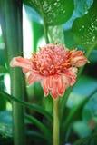 Flor rosada tropical imagenes de archivo