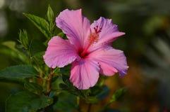 Flor rosada tropical del hibicus imagenes de archivo