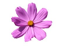 Flor rosada vibrante Fotos de archivo libres de regalías