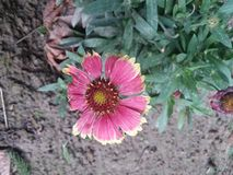 Flor rosada y amarilla Imagen de archivo libre de regalías