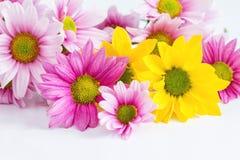 Flor rosada y amarilla del crisantemo Fotos de archivo