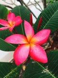 Flor rosada y amarilla del Frangipani y x28; plumeria& x29; Imágenes de archivo libres de regalías