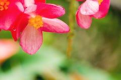 Flor rosada y amarilla del lucerna de la begonia Foto de archivo