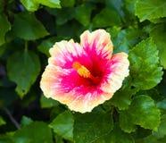 Flor rosada y anaranjada del hibisco Fotografía de archivo libre de regalías