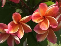 Flor rosada y anaranjada del plumeria en jardín Fotografía de archivo libre de regalías