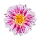 Flor rosada y blanca de la dalia aislada en blanco Imagenes de archivo