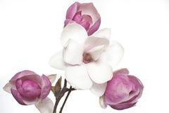 Flor rosada y blanca de la magnolia Imagenes de archivo