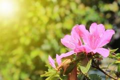 Flor rosada y luz del sol Imagenes de archivo