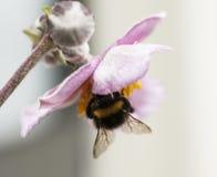 Flor rosada y un insecto Imágenes de archivo libres de regalías