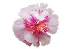 flor Rosado-blanca de la peonía con pétalos mullidos y una base amarilla, en un fondo aislado blanco Imágenes de archivo libres de regalías
