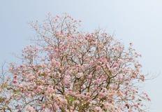Flor rosado de la flor de Tabebuia Fotos de archivo