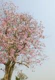 Flor rosado de la flor de Tabebuia Imágenes de archivo libres de regalías