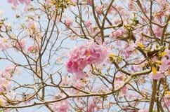 Flor rosado de la flor de Tabebuia Imagen de archivo libre de regalías