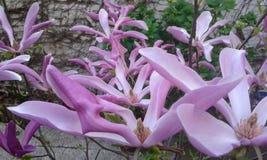 Flor rosado de la magnolia Foto de archivo libre de regalías