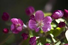 Flor rosado de la manzana Foto de archivo