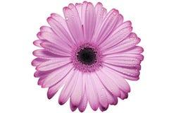 Flor rosado de la margarita del gerbera Imagen de archivo