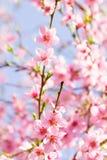 Flor rosado de la primavera de la flor en una rama hermosa del cerezo encendido Foto de archivo libre de regalías
