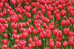 Flor rosado de muchos tulipanes en el parque Imagenes de archivo