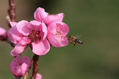 Flor rosado de un árbol frutal con la abeja del vuelo Imágenes de archivo libres de regalías