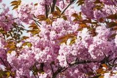 Flor rosado del árbol Fotografía de archivo