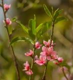 Flor rosado del árbol de melocotón en la luz del sol fotos de archivo
