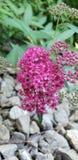 Flor rosado del arbusto fotos de archivo