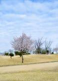 Flor rosado del cerezo y cielo azul del claro Fotografía de archivo