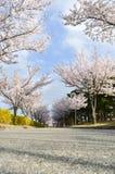 Flor rosado del cerezo y cielo azul del claro Fotos de archivo