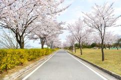 Flor rosado del cerezo y cielo azul del claro Imagen de archivo