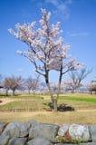 Flor rosado del cerezo y cielo azul del claro Imagen de archivo libre de regalías