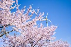 Flor rosado del cerezo y cielo azul del claro Foto de archivo