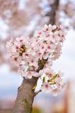 Flor rosado del cerezo y cielo azul del claro Imagenes de archivo
